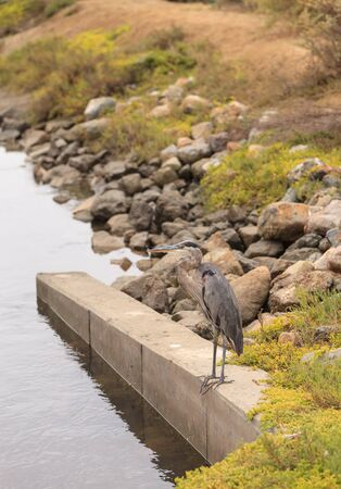blue heron: Great blue heron in the wild, foraging in a lake in Southern California Stock Photo