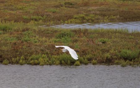 southern california: Snowy Egret, Egretta thula, flies over a marsh in Southern California