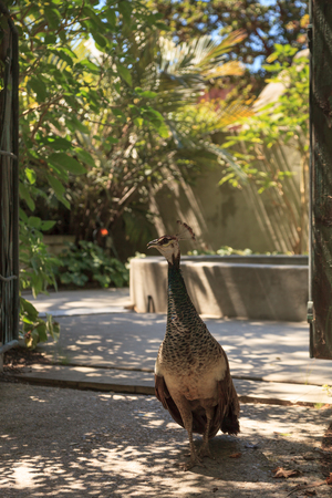 pavo cristatus: Female peacock  peafowl, Pavo cristatus guards her chicks in the doorway of a garden with a fountain in the background Stock Photo