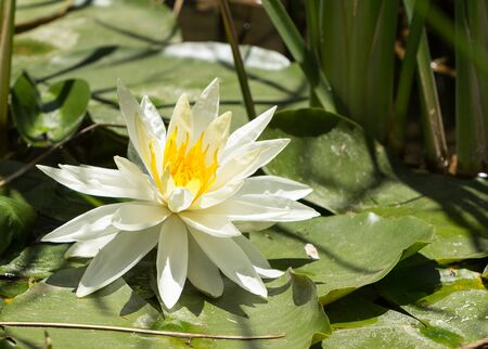 koi pond: White water lily flower on top of a koi pond in Southern California Stock Photo