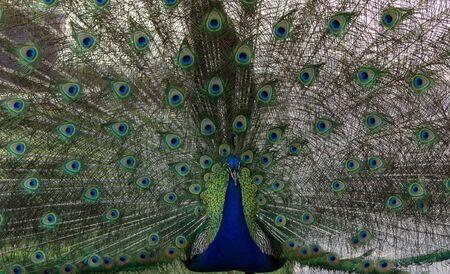 pavo  cristatus: Male peacock, Pavo cristatus, living wild in Southern California, USA