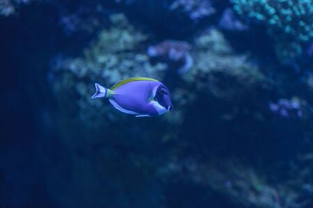 acanthurus leucosternon: Powder blue tang, Acanthurus leucosternon, is a surgeonfish found in the tropical waters of the Indian Ocean Stock Photo