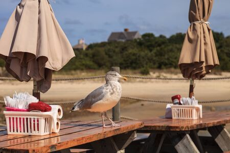 cape cod home: Seagull on a picnic table looking for scraps on Cape Cod in summer Stock Photo