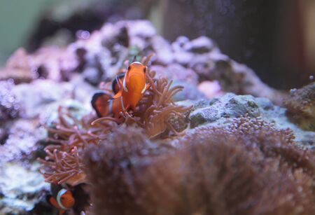 damselfish: Clownfish, Amphiprioninae, in a marine fish and reef aquarium, staying close to its host anemone Stock Photo