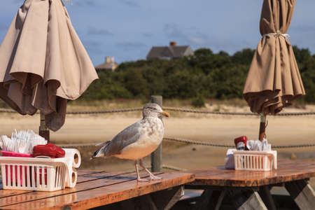 table scraps: Seagull on a picnic table looking for scraps on Cape Cod in summer Stock Photo