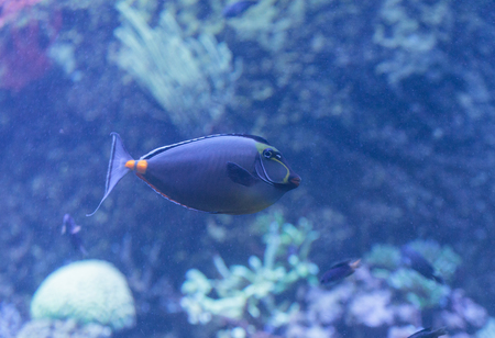 Orangespine unicornfish, Naso lituratus, is found in the Indian and Pacific Ocean