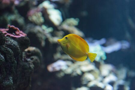 yellow tang: Yellow tang fish, Zebrasoma flavenscens, is a saltwater aquarium fish that is found in the Pacific and Indian Oceans in the wild
