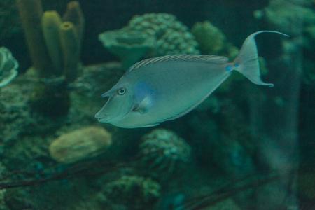 naso: Unicorn surgeonfish, Naso, on a marine reef