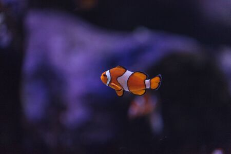 clown fish amphiprion: Clownfish, Amphiprioninae, in a marine fish and reef aquarium, staying close to its host anemone Stock Photo