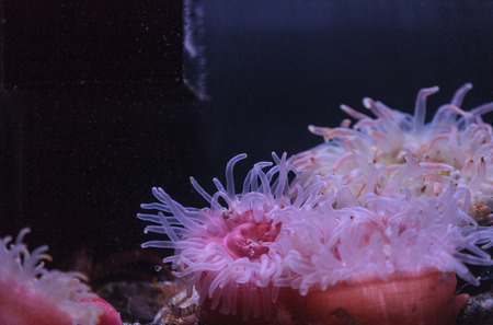 warm water fish: Pink anemone, Urticina crassicornis, on a reef in the ocean