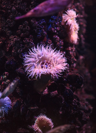 pink anemonefish: Pink anemone, Urticina crassicornis, on a reef in the ocean