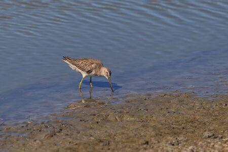 shorebird: Lesser yellow legs, Tringa flavipes, shorebird forages for food in a marsh Stock Photo