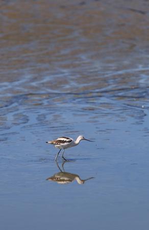 shorebird: American Avocet shorebird, Recurvirostra Americana, forages for food in a marsh