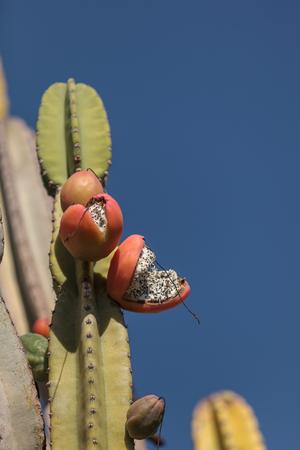 cereus: Peruvian apple cactus, Cereus repandus, bears fruit in summer