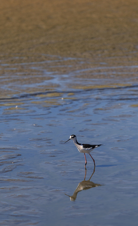 himantopus: Black-necked stilt, Himantopus mexicanus, shore bird in spring