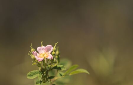 vivo: Wild pink dog rose, Rosa canina, blooms with orange berries on a blurred green background in summer near the beach