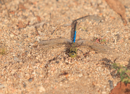 wildlife preserve: Green darner dragonfly, Anax junius, sits on the sand at a wildlife preserve