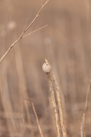 wildlife preserve: Snail perches high on a dry reed at a wildlife preserve marsh in Southern California Stock Photo