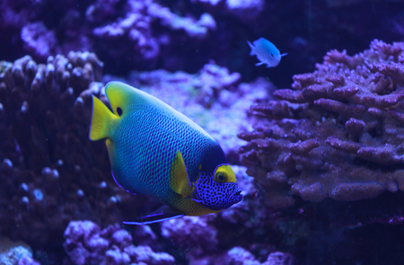 sealive: Bluefaced angelfish, Pomacanthus xanthometopon, can be found along the tropical reef