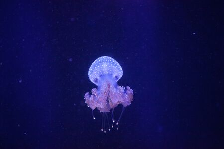 Australian spotted jelly, Phyllorhiza punctata, is also known as the floating bell and the white-spotted jellyfish