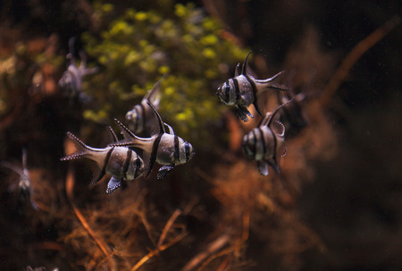 sealive: Banggai cardinalfish, Pterapogon kauderni, is a black and white tropical fish found in the Banggai Islands of Indonesia in the mangroves. Stock Photo