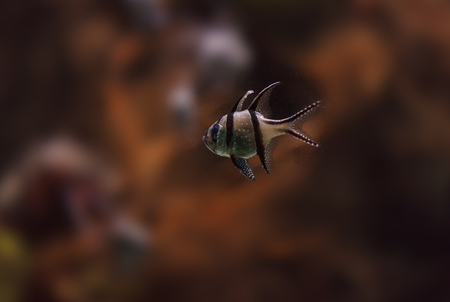 pomacanthus: Banggai cardinalfish, Pterapogon kauderni, is a black and white tropical fish found in the Banggai Islands of Indonesia in the mangroves. Stock Photo