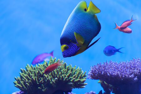 pomacanthus: Bluefaced angelfish, Pomacanthus xanthometopon, can be found along the tropical reef