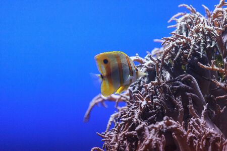 pet photography: Copper-banded butterflyfish, Chelmon rostratus, picks at the corals on the reef