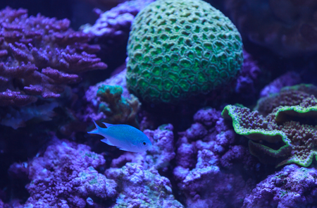 viridis: Green chomis, Chromis viridis, has a pale green color and is found on the reef