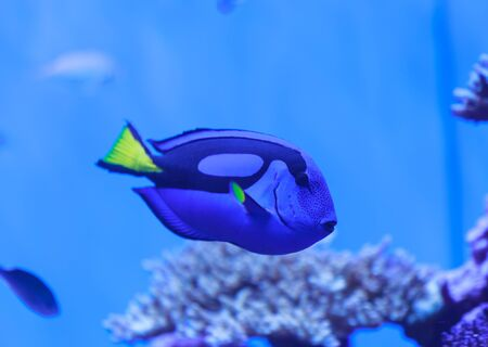 tang: Palette tang fish, Paracanthurus hepatus, is also called the royal blue tang