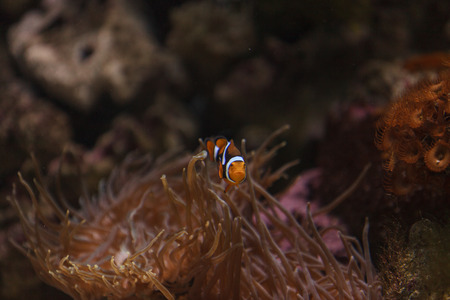 brilliant   undersea: Clownfish, Amphiprioninae, in a marine fish and reef aquarium, staying close to its host anemone Stock Photo