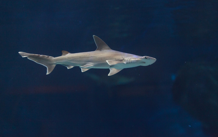 Hammerhead shark, Sphyrna lewini, usually swim in schools during the daytime. Stock Photo