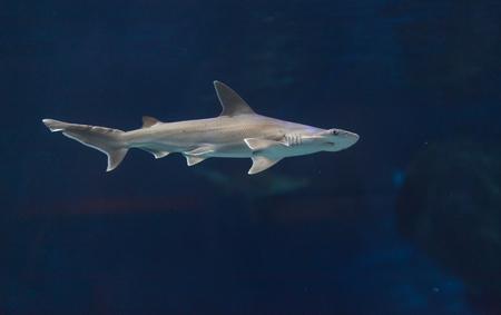 hammer head: Hammerhead shark, Sphyrna lewini, usually swim in schools during the daytime. Stock Photo