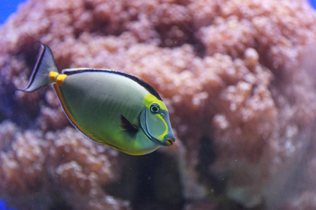 Naso tang, Naso lituratus, is found in the Indian and Pacific Ocean