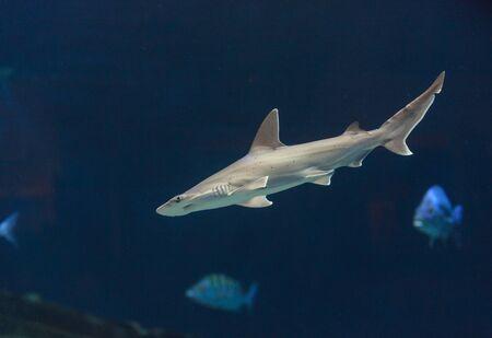 pez martillo: Tiburón martillo, Sphyrna lewini, por lo general nadan en las escuelas durante el día.