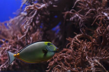naso: Naso tang, Naso lituratus, is found in the Indian and Pacific Ocean