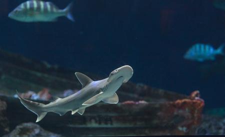 귀상어 상어 Sphyrna lewini는 보통 주간에 학교에서 수영합니다. 스톡 콘텐츠