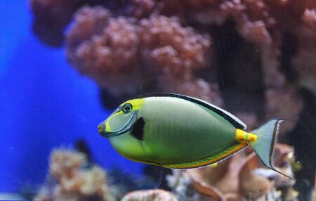 tang: Naso tang, Naso lituratus, is found in the Indian and Pacific Ocean