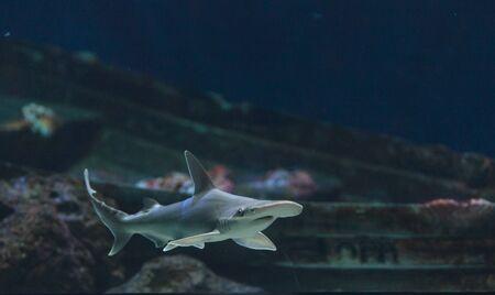 hammerhead: Hammerhead shark, Sphyrna lewini, usually swim in schools during the daytime. Archivio Fotografico