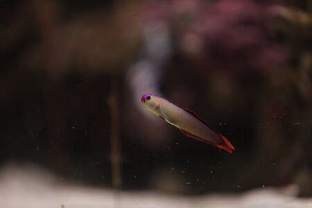sealive: Purple cap firefish, Nemateleotris decora, darts through the water on a tropical reef Stock Photo