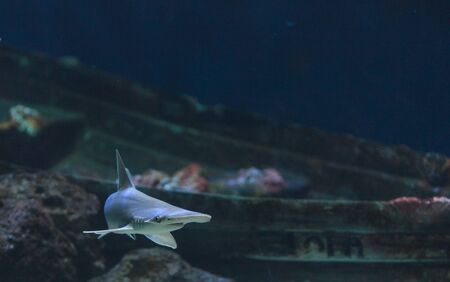 hammerhead: Hammerhead shark, Sphyrna lewini, usually swim in schools during the daytime. Stock Photo