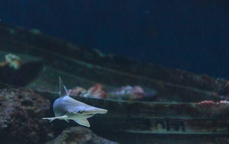 pez martillo: Tibur�n martillo, Sphyrna lewini, por lo general nadan en las escuelas durante el d�a.