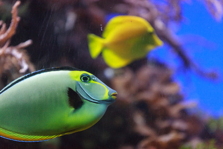 unicorn fish: Naso tang, Naso lituratus, is found in the Indian and Pacific Ocean