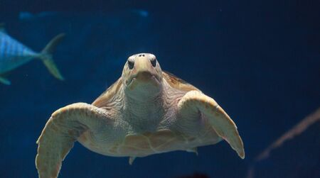 tourism in belize: Juvenile loggerhead sea turtle, Caretta caretta, swims gracefully through the water