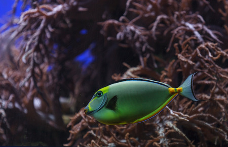 blue tang fish: Naso tang, Naso lituratus, is found in the Indian and Pacific Ocean