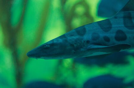 wildlive: Zebra shark, Stegostoma fasciatum, also called the leopard shark, is a species of carpet shark and is found throughout the tropical Indo-Pacific.