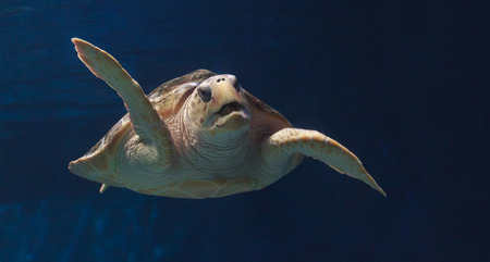 Juvenile loggerhead sea turtle, Caretta caretta, swims gracefully through the water