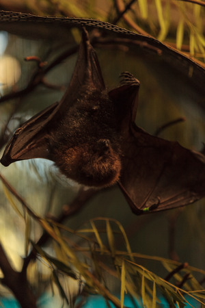 nocturnal: Rodrigues fruit bat, Pteropus rodricensis, is nocturnal and shy