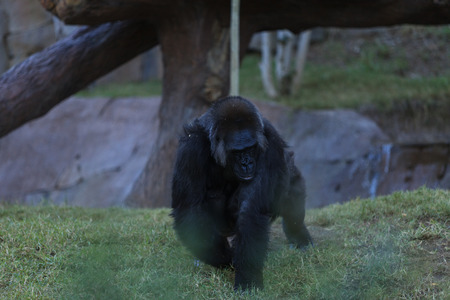 bipedal: Gorillas can be found in tropical forests and are known for their strength.