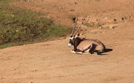 gazelle: Gemsbok, Oryx gazelle, is found in South Africa